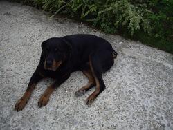 Lola, chien Rottweiler