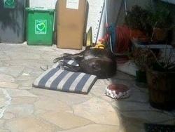 Lea, chien Labrador Retriever