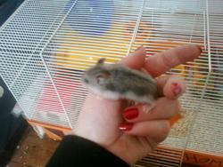 Celes, rongeur Hamster