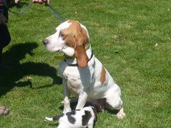 Celeste, chien Chien d'Artois