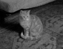 Célèste, chat Gouttière