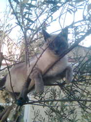 Celeste, chat Siamois