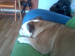 Celimene, chien Bulldog