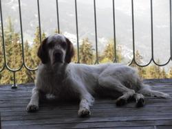 Celio, chien Setter anglais
