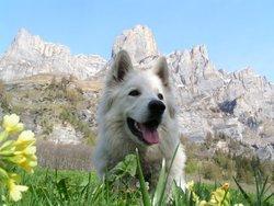 Celtic, chien Berger blanc suisse
