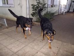Centio Et Volvic, chien Bouvier bernois