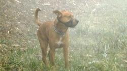 Cerbere, chien American Staffordshire Terrier