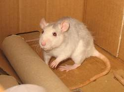 Ceridwen Rip, rongeur Rat