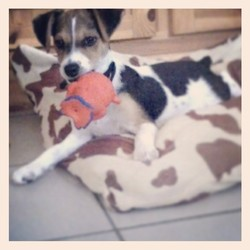 Cerise, chien Jack Russell Terrier