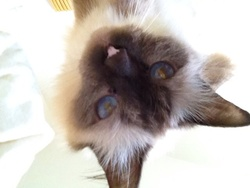 Cerise, chat Birman