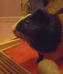 Cerise, rongeur Cochon d'Inde