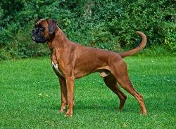 Cerise, chien Boxer