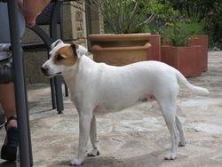 Cerise, chien Parson Russell Terrier
