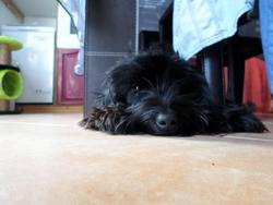 Cerise, chien Bichon maltais