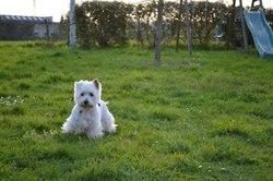 Cerise, chien West Highland White Terrier