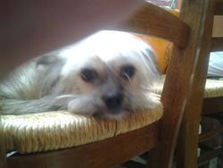 Cerise, chien Chihuahua