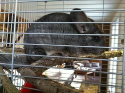 Cerise, rongeur Chinchilla