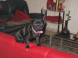 Cerise, chien Carlin