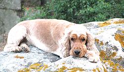 Cerise, chien Cocker anglais