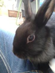 Cerise, rongeur Lapin