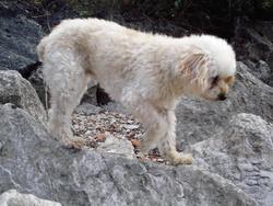 Cerise, chien Caniche