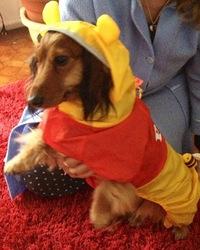 Cerise, chien Teckel