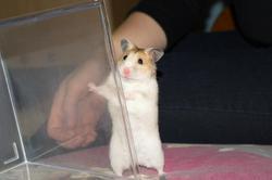 Cerise, rongeur Hamster