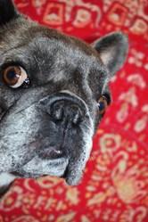 Cerise La Castagne, chien Bouledogue français