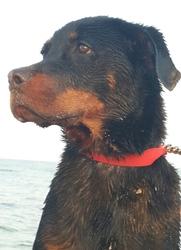 Cesar, chien Rottweiler