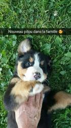 César, chien Bouvier bernois