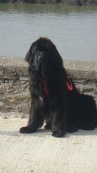 Cesar, chien Terre-Neuve