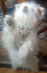 César, chien