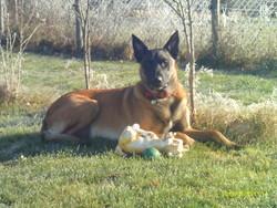 César, chien Berger belge