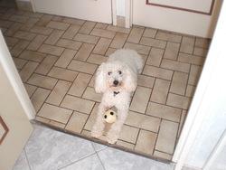 César, chien Caniche