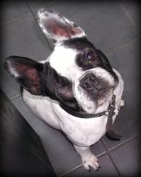 César, chien Bouledogue français