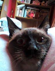 César, chat Siamois