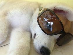 César, chien Akita Inu