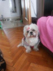 Cesar, chien Shih Tzu