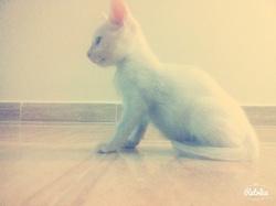 César, chat Angora turc