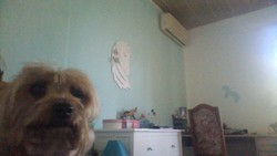 César, chien Yorkshire Terrier