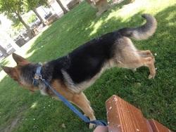 Cesur, chien Berger allemand