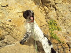 Cezar, chien Setter anglais