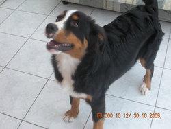 Eclair, chien Bouvier bernois
