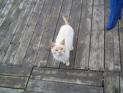 Claire, chat Balinais