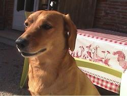 Altesse, chien Teckel