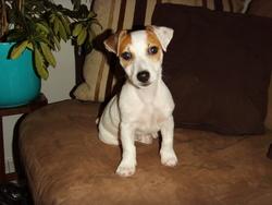 Yoschi, chien Jack Russell Terrier