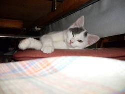 Nioubie, chat Européen