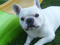 Koda, chien Bouledogue français