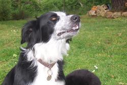 Cayenne, chien Border Collie