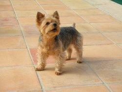 Nelly, chien Yorkshire Terrier